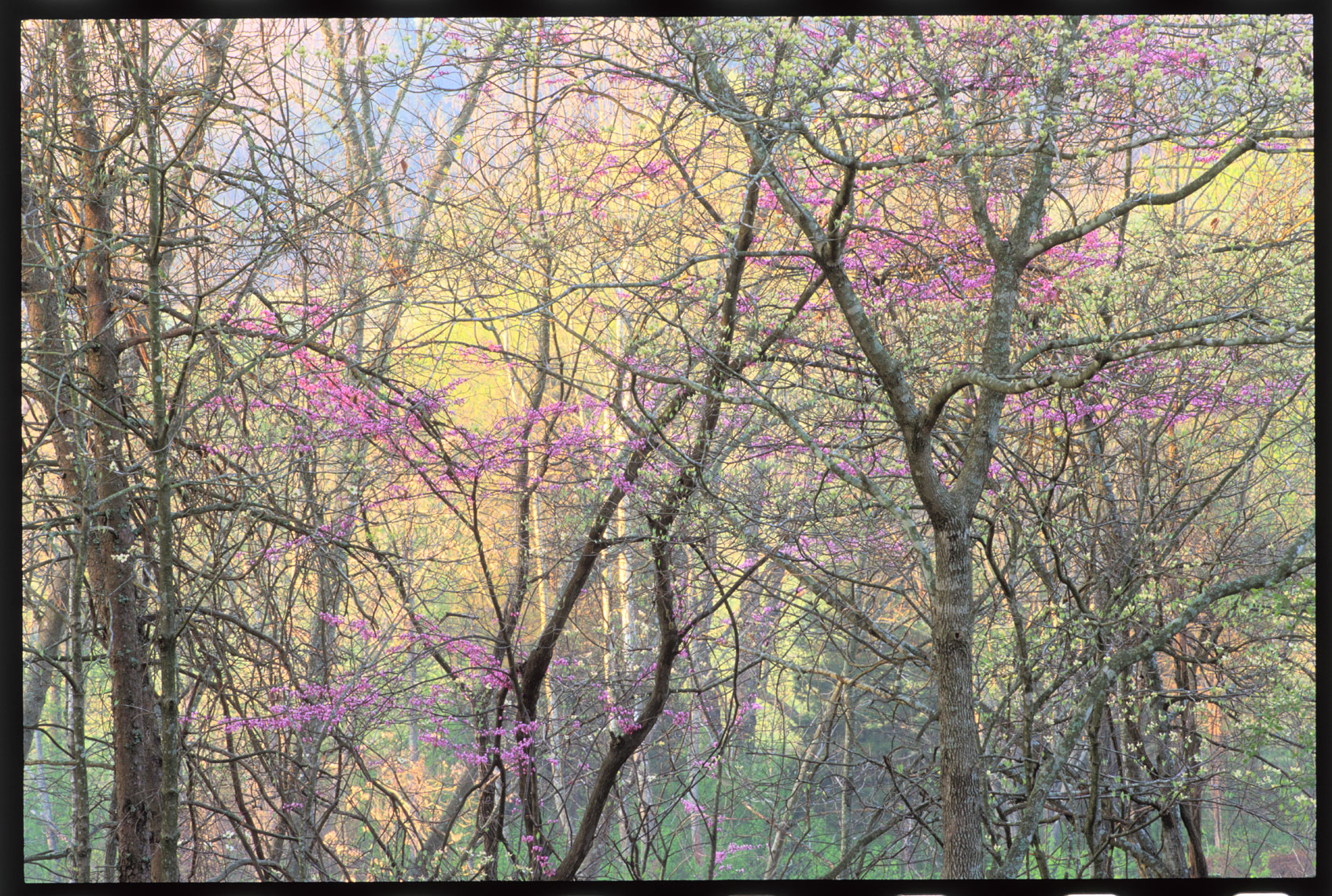4794-purple-in-forest