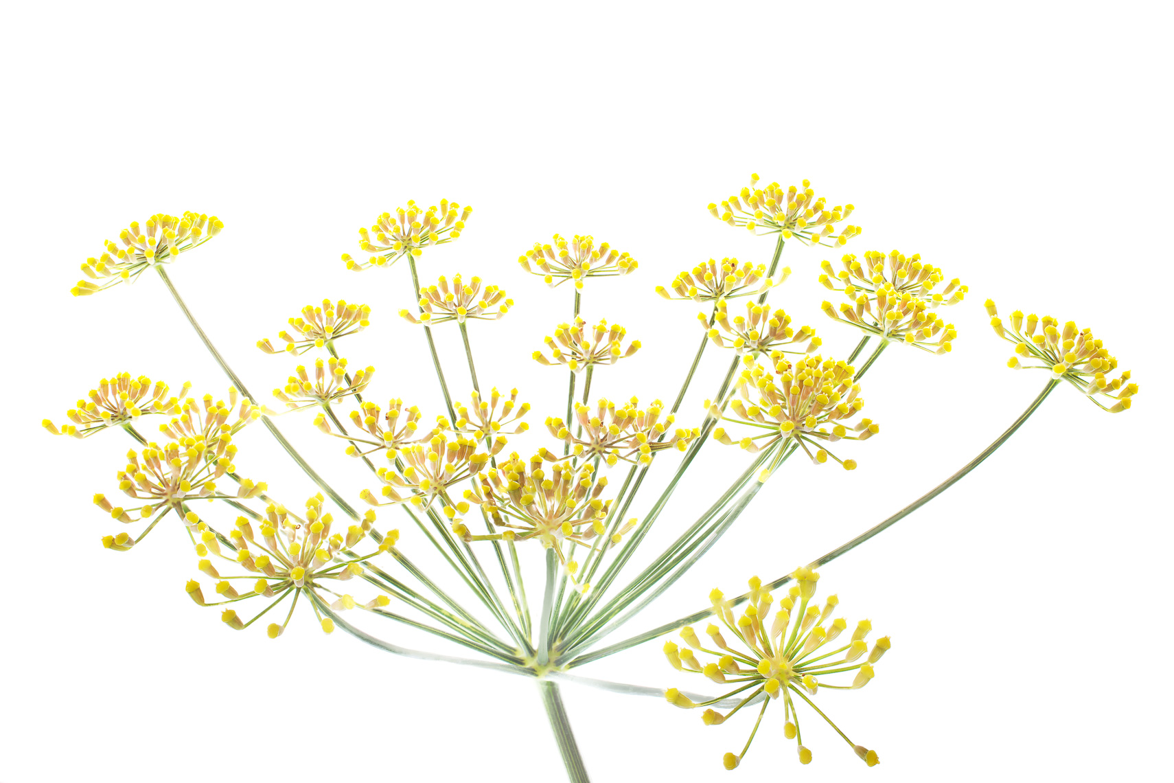 goldenfennel08ng