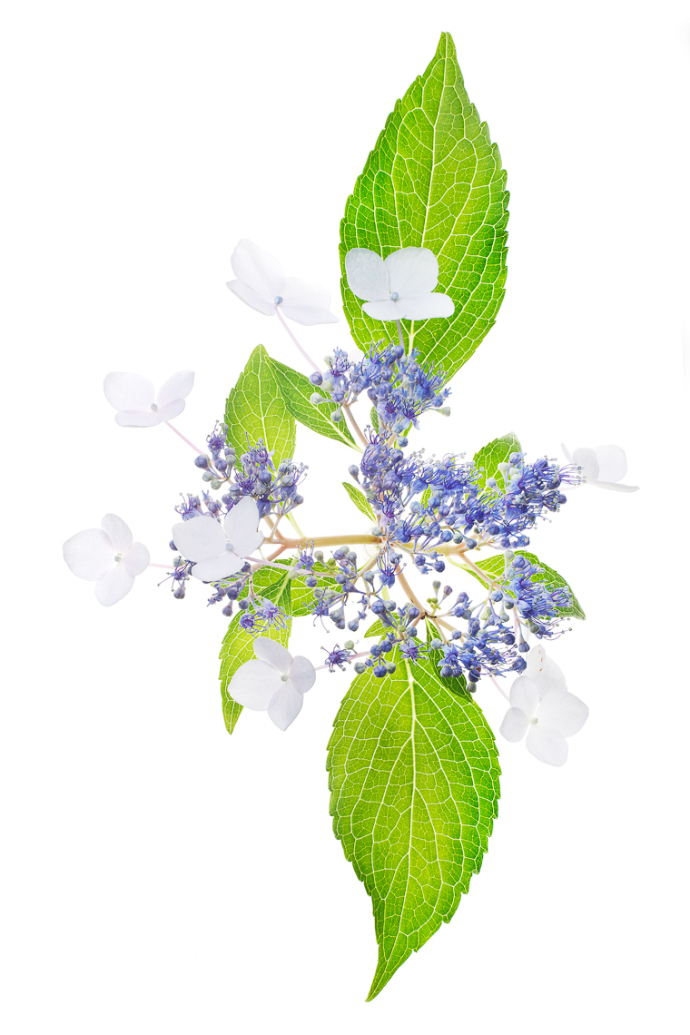 lacecaphydrangea01ng