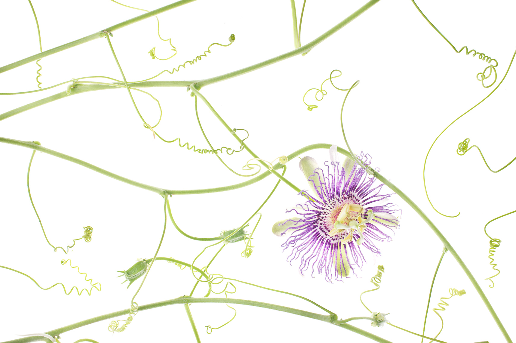 passionflower03ng