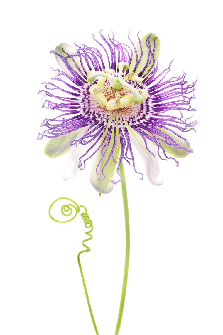 passionflower04ng