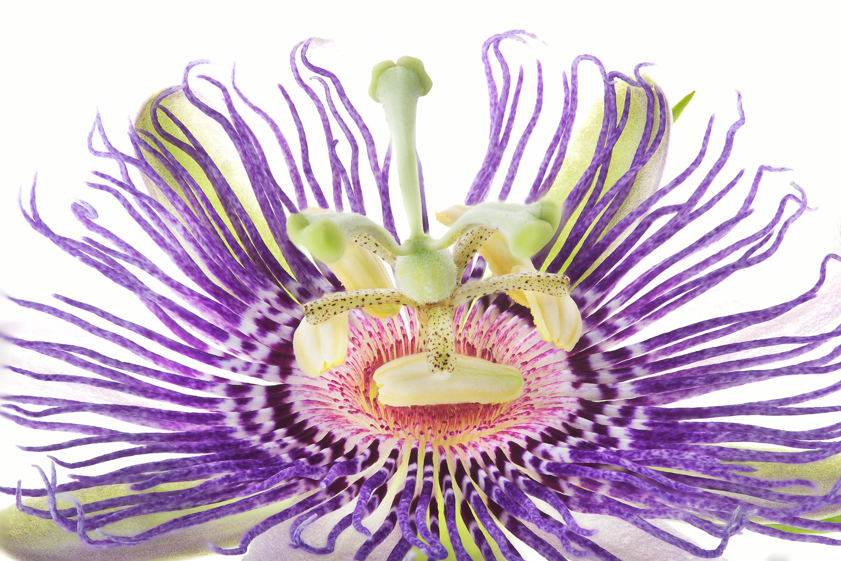 passionflower05ng