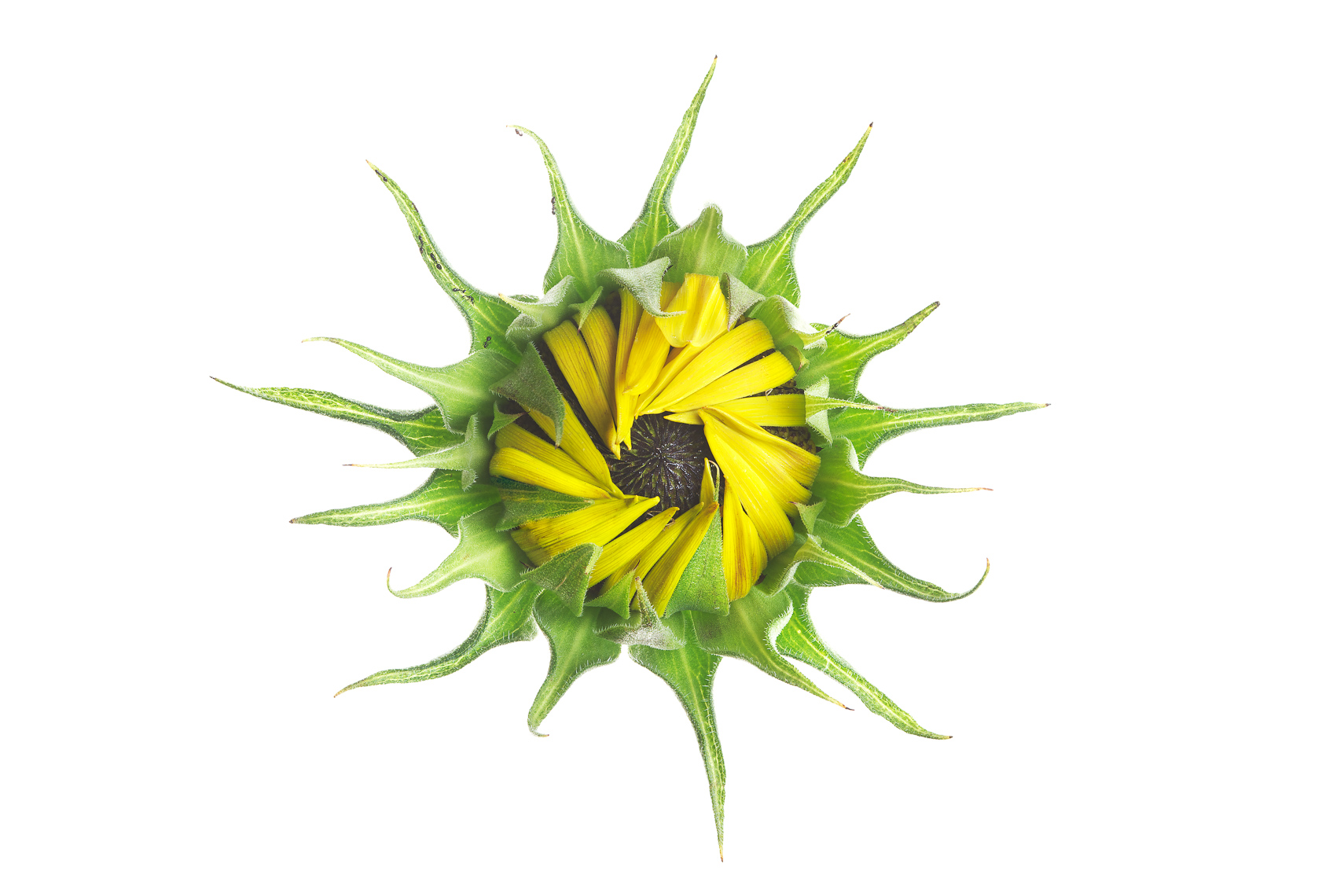 sunflower04ng