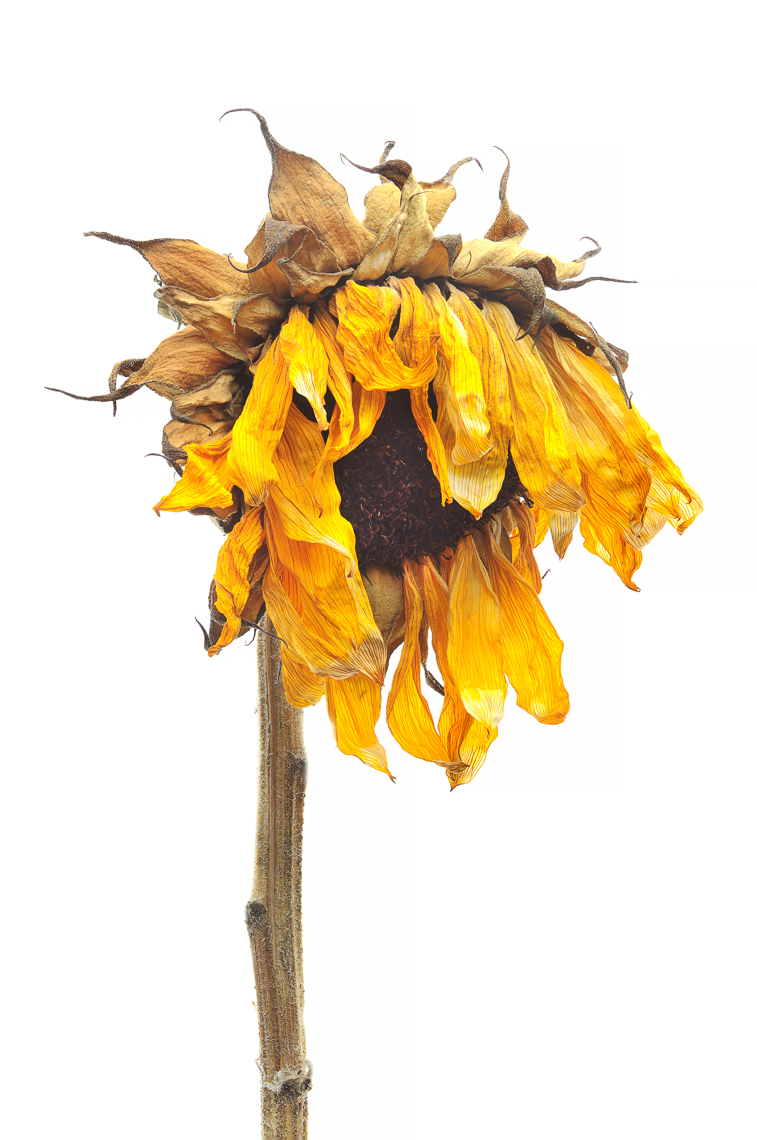 sunflower08ng